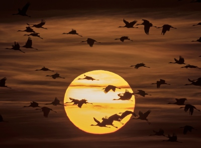 Migrating cranes fly during sunset near Straussfurt, central Germany, Monday, Oct. 31, 2016. The cranes rest in central Germany on their way from breeding places in the north to their wintering grounds in the south. (AP Photo/Jens Meyer)
